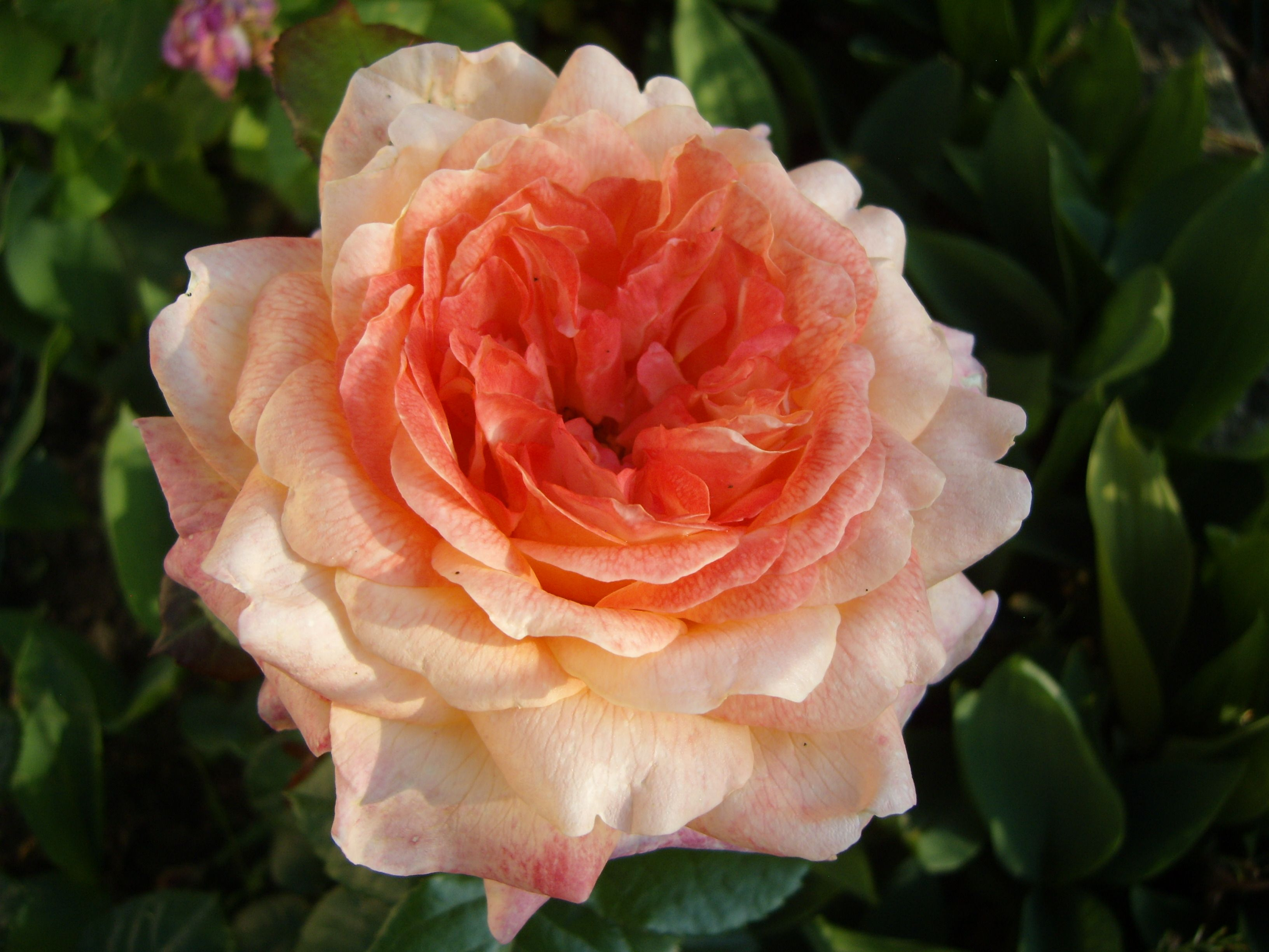 Fonds ecran roses for Fond ecran rose