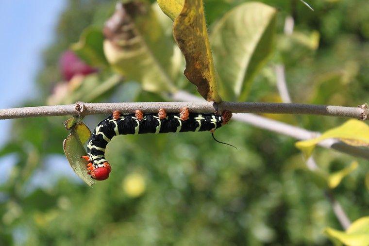 Guadeloupe - Chenille orange et noir ...